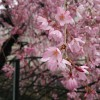 雨上がりの寒空に耐えながら二ヶ領用水の桜を見てきた
