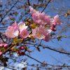 多摩川CRで強風に耐えながら今年初の桜を撮影してきた