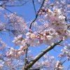 Escape Airでポタリング 多摩川河川敷で早咲きの桜を見てきた