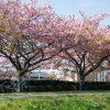 河津桜が満開!多摩川河川敷で2020年のお花見初めしてきた
